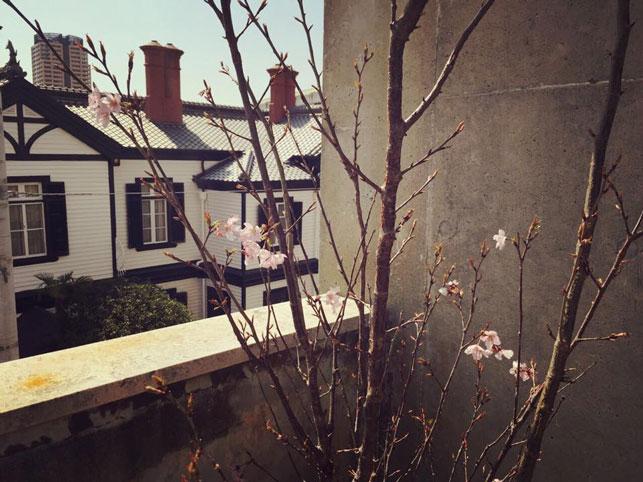 中庭の桜が開花。テラスのテーブルやカウンターはお花見が出来る特等席!