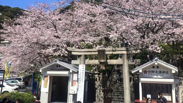神戸北野は桜が満開です。